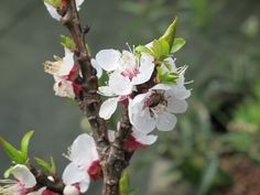 Cassie Liversidge- Apricot blossom the first to come out in the spring