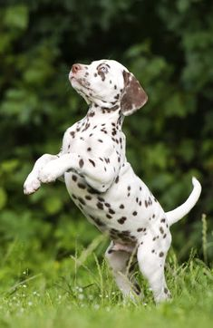 Dalmatian puppy (brown spotted).