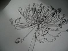 agapanthus drawing - Google Search
