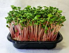 The extreme health benefits of microgreens are indisputable as basic research has shown that microgreens contain anywhere from 4 to 40 times the nutrient value of their mature counterparts. We have...