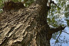 Samanea saman Photos forest trees. nature green wood backgrounds., Samanea saman Texture by Pakorn