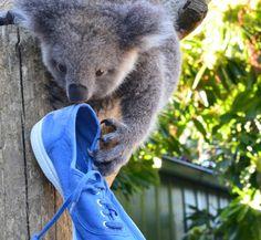 Très belle photo envoyée par l'Australie ! Les koalas et les Bensimon = <3