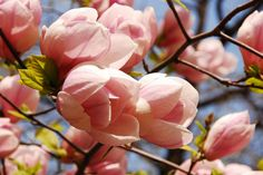 I've always wanted a tulip tree in my front yard