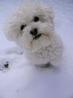 Bichon Frise love from my puppy, Mr. Wickham!!