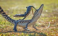 A lizard challenged a crocodile to a game of 'reptile rodeo' by jumping on him...
