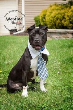Check out Prince's profile on AllPaws.com and help him get adopted! Prince is an adorable Dog that needs a new home. https://www.allpaws.com/adopt-a-dog/american-staffordshire-terrier-mix-boston-terrier/63296?social_ref=pinterest visit us at lilospromise.com