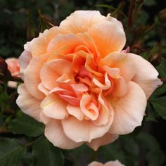 Rosa 'Sussex'. Think I'd better get one of these as well!