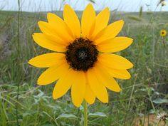 Kansas Wildflowers and Grasses - Plains sunflower