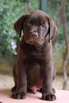 6 Amazing Labradors you should see ~ The Pet's Planet