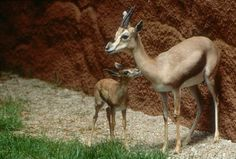 Speke's gazelle baby and mother.