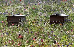 Beehives in a field of wildflowers~  The modern beehive used today was patented in 1851 by Rev. Lorenzo Langstroth of Pennsylvania. Until then, some styles of hives along with their colonies had to be destroyed to gather the honey.