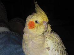 LOST COCKATIEL: 08/17/2017 - Melbourne, Florida, FL, United States. Ref#: L35701 - #ParrotAlert #LostPet #LostBird #LostParrot #MissingBird #MissingParrot #LostCockatiel #MissingCockatiel