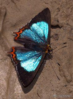 GREEN SAPPHIRE - male. KHONOMA, NAGALAND, INDIA.