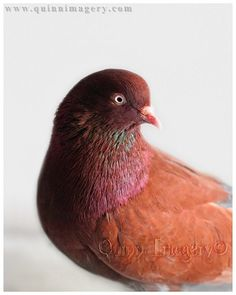 A Birmingham Roller pigeon with beautiful chocolaty feathers touched with teal and fuchsia. Rollers are prized for their acrobatics they perform