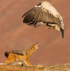 Jackal and Vulture - Kwazulu Natal, South Africa by Stephen Earle