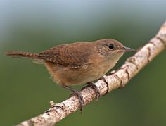 Foto corruíra (Troglodytes musculus) por Dario Sanches | Wiki Aves - A Enciclopédia das Aves do Brasil