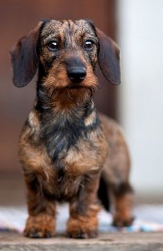 Wirehaired Dachshund - 'Watchdog,' by Håkan Dahlström on Flickr