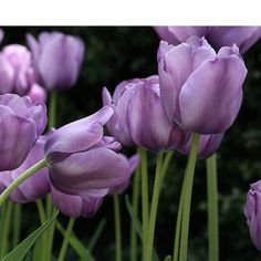 5 SINGLE LATE TULIP BULBS~BLEU AIMABLE~PLANT NOW FOR SPRING FLOWERS RARE COLOR!!