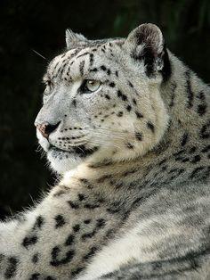 Snow Leopard(Milan Vorisek)