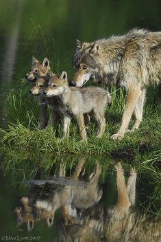 Louve et ses petits