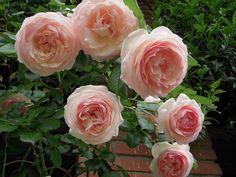 le mie rose...