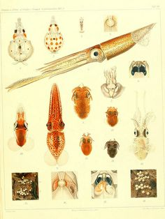 Die Cephalopoden, I. Teil /.R. Friedländer & Sohn,1921-1928. Lesser flying squid 1 of most abundant cephalopods in Celtic Sea.