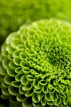 Flowers  - Garden - Green asters