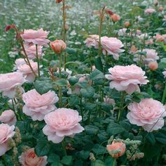 Roses Gardening Queen Of Sweden ® - Wide, shallow cupped blooms (petals 100 ) of a soft pink and exuding a mild myrrh fragrance are beautiful at any stage. An upright repeat blooming bushy growth habit with few thorns. Makes a good cut flower. Queen Of Sweden Rose, Rose Queen, Romantic Roses, Beautiful Roses, Roses David Austin, Heirloom Roses, Growing Roses, English Roses, Summer Garden