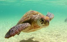 sea turtles | Beautiful Sea Turtle Wallpaper 1280x800 Wallpapers,Turtle 1280x800 ...