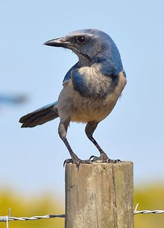 A team of researchers has found a key to the habitat puzzle for improving long-term survival of the endangered Florida Scrub-Jay.