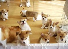 Corgi puppies everywhere! I hope one of these puppies can be my wedding gift?
