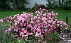 """Canadian Explorer rose John Davis. 3.5"""" blooms. Avg 40 petals. Very disease resistant. Height 7-8', Width 4'. Dark green foliage. Hardy to zone 2a. Mild spice fragrance.  Nearly thornless.  Arching habit."""