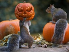 """grumpy-white-girll: """" sixpenceee: """" Photograph of a squirrel that got it's head stuck in a jack-o-'lantern carved into a miniature pumpkin in the backyard of Max Ellis, from Teddington, London. (Source) """" This is hands down my favorite post ever """""""