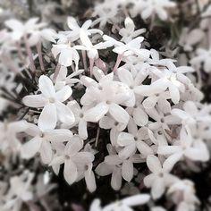 Jasmine blooms.