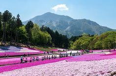 日本有数の芝桜の名所、埼玉県秩父市「羊山公園」