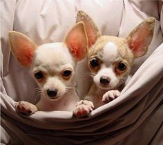 sable/fawn chihuahua puppies