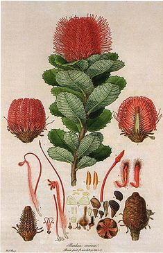 Australian Botanical Illustration Banksia coccinea Scarlet Banksia artist: Ferdinand Bauer from: 'Illustrationes Florae Novae Hollandiae' by Ferdinand Bauer Published as: Banksia coccinea. Australian Wildflowers, Australian Native Flowers, Australian Art, Science Illustration, Nature Illustration, Flower Illustrations, Vintage Botanical Prints, Botanical Drawings, Botanical Flowers