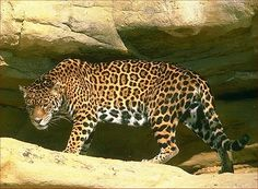 The majestic jaguar prowls a mysterious cave.