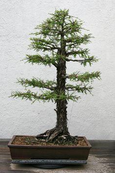 Trend Montezuma Cypress Taxodium mucronatum Flickr Photo Sharing