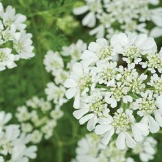 Seeds for Cut Flowers and Bouquets All Flowers, Pretty Flowers, White Flowers, Wedding Flowers, White Lace, Single Flowers, Annual Flowers, Blush Flowers, Summer Flowers