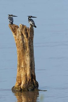 Pied Kingfishers - Africa