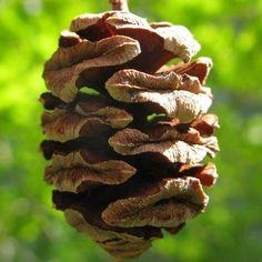 Dawn Redwood Cone (Metasequoia glyptostrobides)