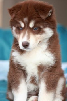 Wonderful All About The Siberian Husky Ideas. Prodigious All About The Siberian Husky Ideas. Cute Husky Puppies, Husky Puppy, Huskies Puppies, Rottweiler Puppies, Pomeranian Puppy, Lab Puppies, Beautiful Dogs, Animals Beautiful, Siberian Husky Puppies