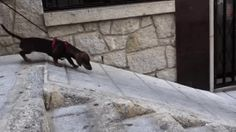 New trending GIF on Giphy. dachshund lazy dog. Follow Me CooliPhone6Case on Twitter Facebook Google Instagram LinkedIn Blogger Tumblr Youtube