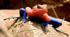 Spider-man Iguana