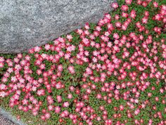 Saxifraga 'Peter Pan' (Pink Mossy Saxifrage) Height: foot Width: feet Exposure: Sun to part sun Dislikes drought and hot humid summer weather Green Garden, Garden Pots, Garden Deco, Trees To Plant, Garden Inspiration, Garden Landscaping, Wild Flowers, Planting Flowers, Garden Design