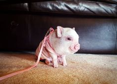 Kentucky's elite and sought after miniature pigs. We specialize in breeding quality, healthy, small, socialized, and beautiful pet pigs. Baby Animals, Funny Animals, Animals And Pets, Cute Animals, Pet Pigs, Baby Pigs, Miniature Pigs, Cute Piglets, Happy Pig