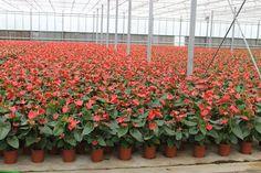 Anthurium  Copyright © FLORPAGANO di A. Pagano - Ruvo di Puglia (Ba) www.florpagano.com