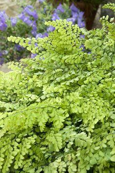 Maidenhair fern for a pot? £5.50