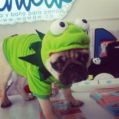 Pocho, #pug de @beatrizkidddo, vino a bañarse y aprovechó para vestirse de #RanaRen é.